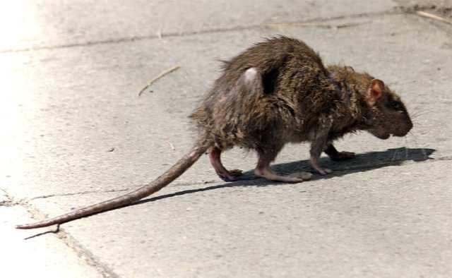 nasty rat