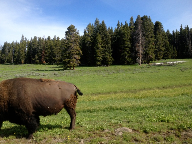 A bison's fat ass.